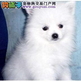 家养银狐犬出售 CKU认证保健康 质保全国送货