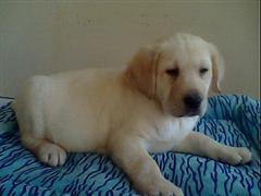 拉布拉多幼犬到宠优名犬/质保终身/酬宾促销