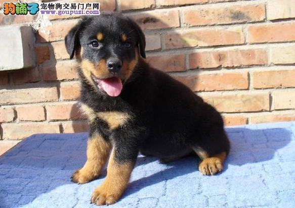 绝对忠诚于主人的罗威纳幼犬正在出售中