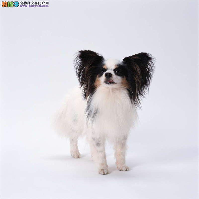纯种蝴蝶犬出售、公母均有多只选择、签协议可送货