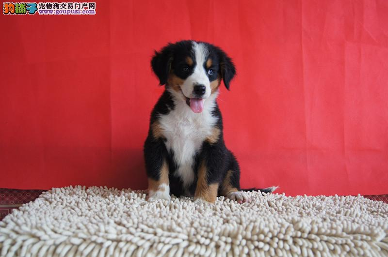 伯恩山纯种健康赛级犬保证品质可以上门选购