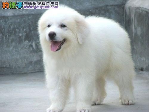 CKU认证专业繁殖狗场直销健康大白熊幼犬 公母都有