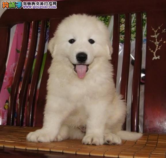 广州大白熊价钱多少 广州哪里有卖大白熊