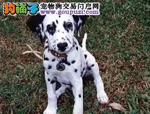 高端斑点狗幼犬 精心繁育品质优良 全国送货上门