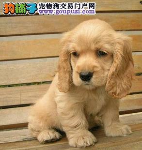 黔南州出售极品可卡幼犬完美品相国外引进假一赔百