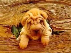 CKU犬舍认证出售高品质沙皮狗购犬可签协议