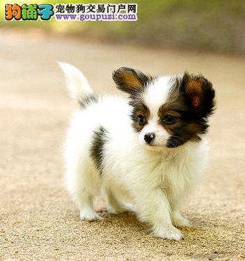 出售正宗血统优秀的黄石蝴蝶犬包售后包退换