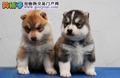 狗场繁殖友善温顺极品纯种哈士奇帅气疫苗齐全包纯种健