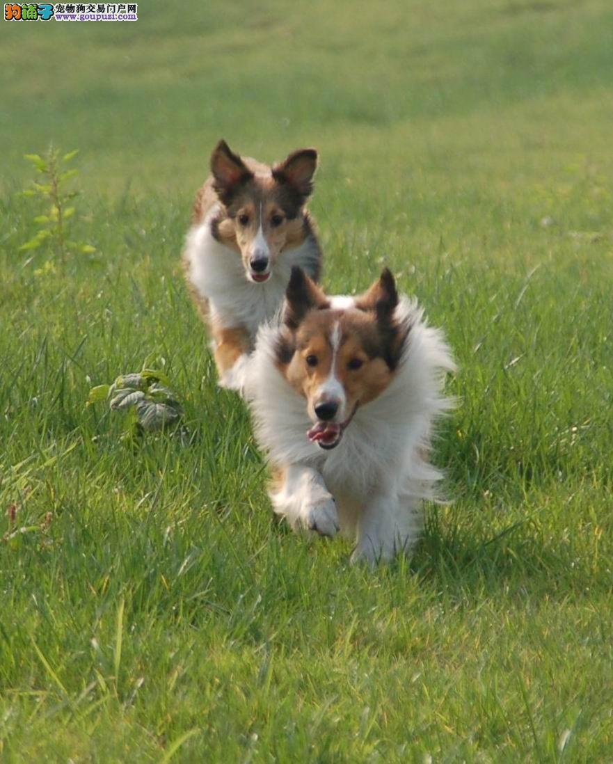 家养喜乐帝幼犬,纯种健康,赛级后代