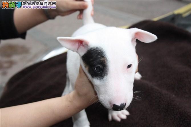 直销牛头梗幼犬,CKU认证品质,提供养护指导