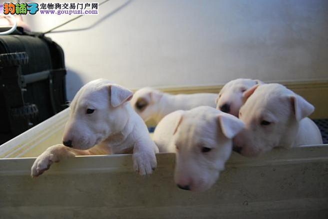 舟山知名犬舍出售多只赛级牛头梗可直接微信视频挑选