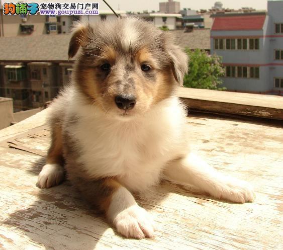 权威机构认证犬舍 专业培育苏牧幼犬欢迎实地挑选