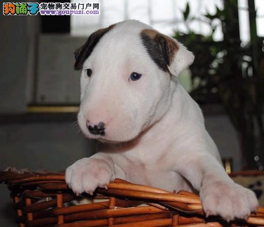 实体店低价促销赛级牛头梗幼犬真实照片视频挑选