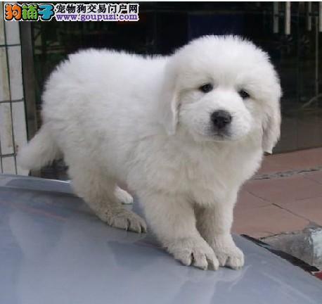 洛阳犬舍低价热销 大白熊血统纯正可刷卡可视频