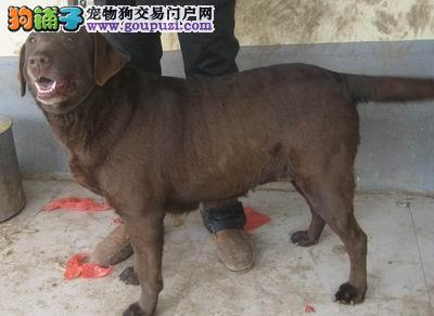 犬舍直销血统纯正拉布拉多宝宝 CKU认证犬业。