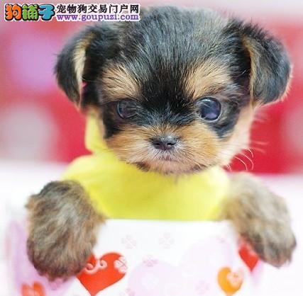北京知名犬舍出售多只赛级约克夏可刷卡可视频