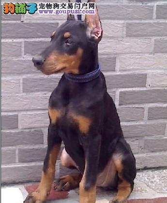 顶级优秀的纯种南宁杜宾犬热销中保证品质完美售后