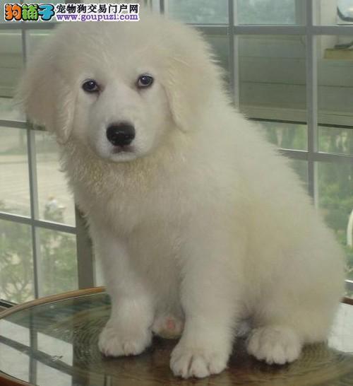 健康 大白熊 出售/因形似北极熊而出名的大白熊犬[三个月公母全有]