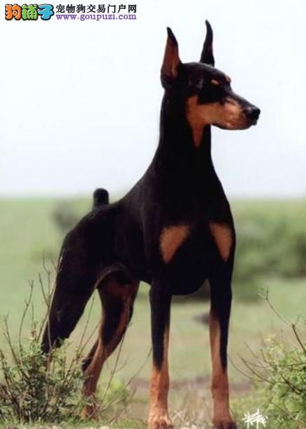 顶级优秀的纯种杜宾犬蚌埠热卖中保障品质售后