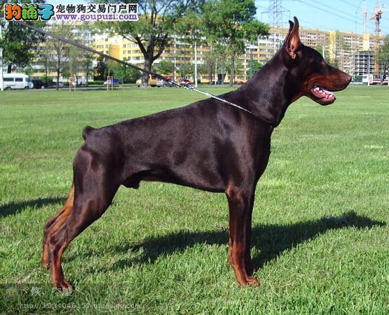 出售赛级杜宾犬、CKU认证犬舍、等您接它回家