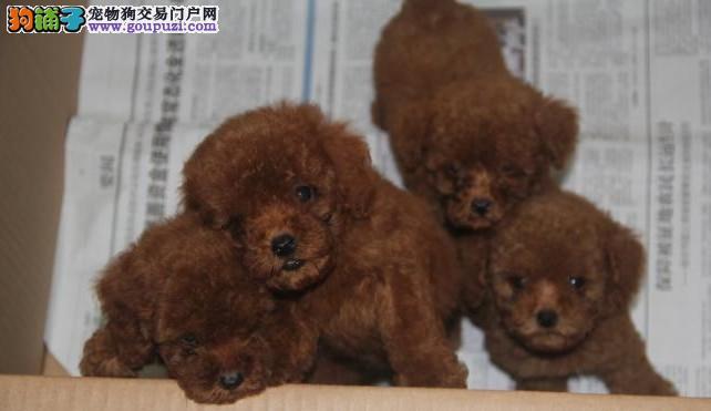 大众犬业常年直销纯种贵宾/泰迪宝宝 颜色齐全 包健康