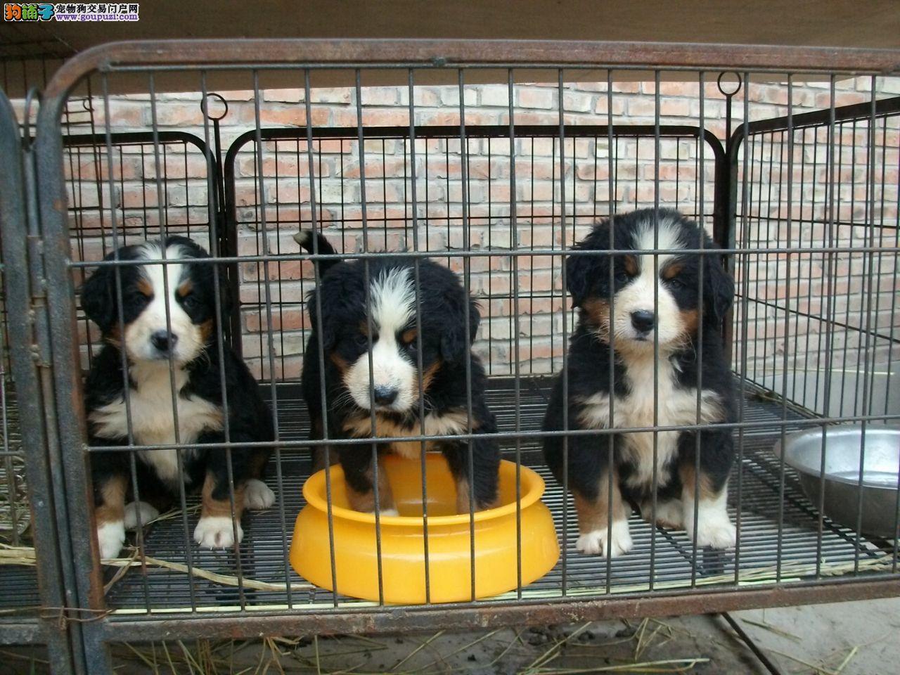 热销多只优秀的纯种伯恩山幼犬请您放心选购