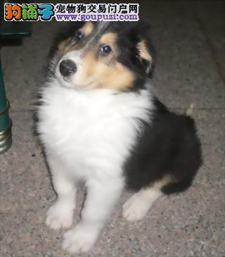 杭州有苏格兰牧羊犬长毛尖嘴现在哟2到3个月大的幼犬