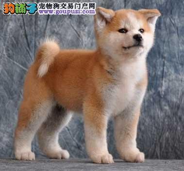 颜色全品相佳的柴犬纯种宝宝热卖中全国当天发货