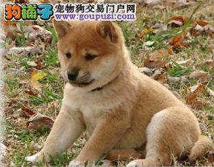 国际注册犬舍 出售极品赛级柴犬幼犬签订保障协议