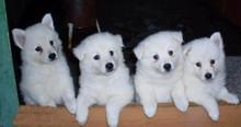 纯种的日本尖嘴犬(银狐犬)出售.包健康,可上门选购.