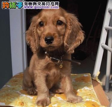杭州专业基地赛级品相可卡幼犬,保健康包纯种签质保