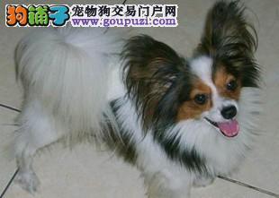 顶级优秀的纯种蝴蝶犬绍兴热卖中微信咨询欢迎选购