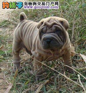 公母均有的郑州沙皮狗找爸爸妈妈全国送货上门