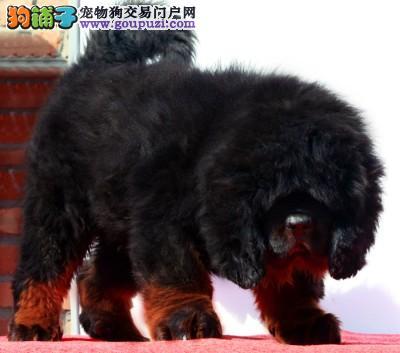 北京皇家獒园极品幼熬预定成獒出售