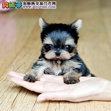 出售纯种金头银背 品相纯正超可爱迷你型约克夏幼犬