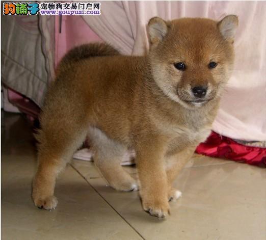 出售多种颜色琼山纯种柴犬幼犬微信看狗可见父母