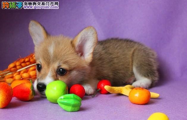 台州哪里有柯基犬卖,出售柯基犬包纯种健康半年