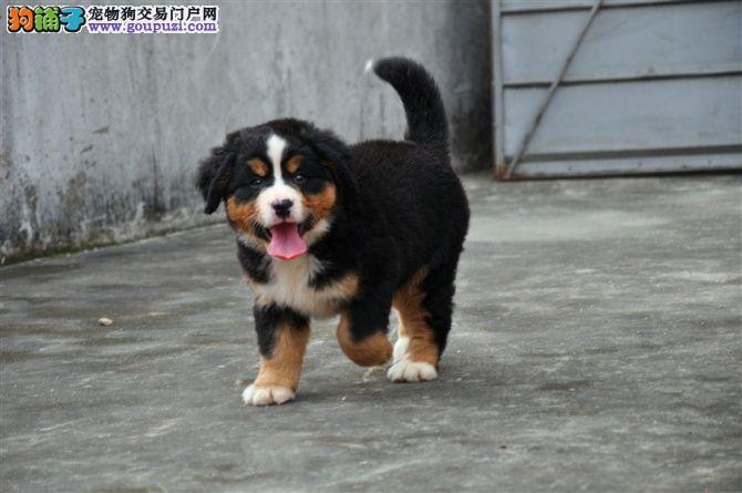 北京猛犬繁殖基地低价出售高品质伯恩山