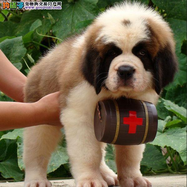 顶级纯种搜救犬圣伯纳尘扬狗场特价出售包健康