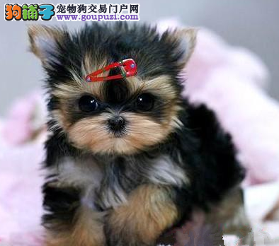 纯血统约克夏幼犬、疫苗驱虫已做、购买保障售后
