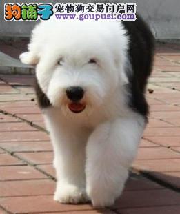 纯种古代牧羊犬大白头通背活泼惹人喜爱身体健康可爱