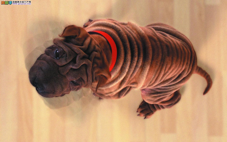 国外引进纯沙皮狗 纯度第一品质第一 三年联保协议