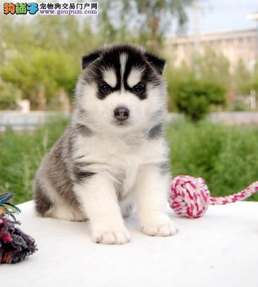 珠海犬舍出售高品质哈士奇疫苗齐全品质保证