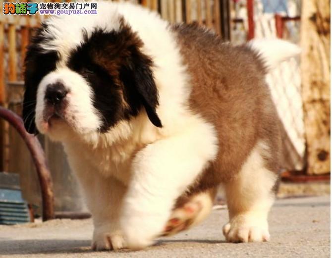 热销多只优秀的纯种石家庄圣伯纳微信咨询看狗狗视频