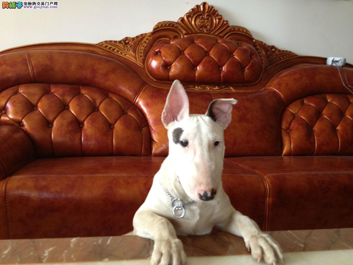 精品牛头梗幼犬一对一视频服务买着放心签订三包合同
