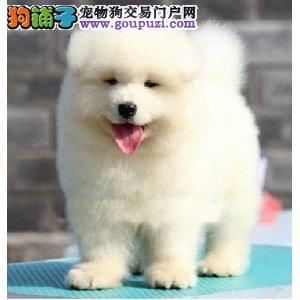 兰州养殖基地特价优惠出售萨摩耶幼犬 雪白色没有杂毛
