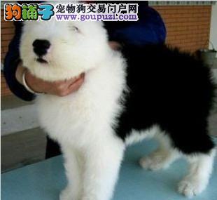 自家古牧幼犬 白头通背 品相不错 疫苗驱虫也做了