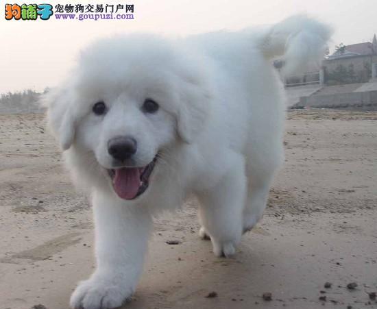 忠诚护卫犬,大白熊,2到3个月幼犬