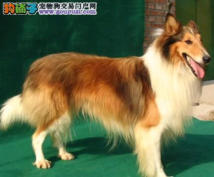 武汉哪里有卖健康纯种的苏格兰牧羊犬