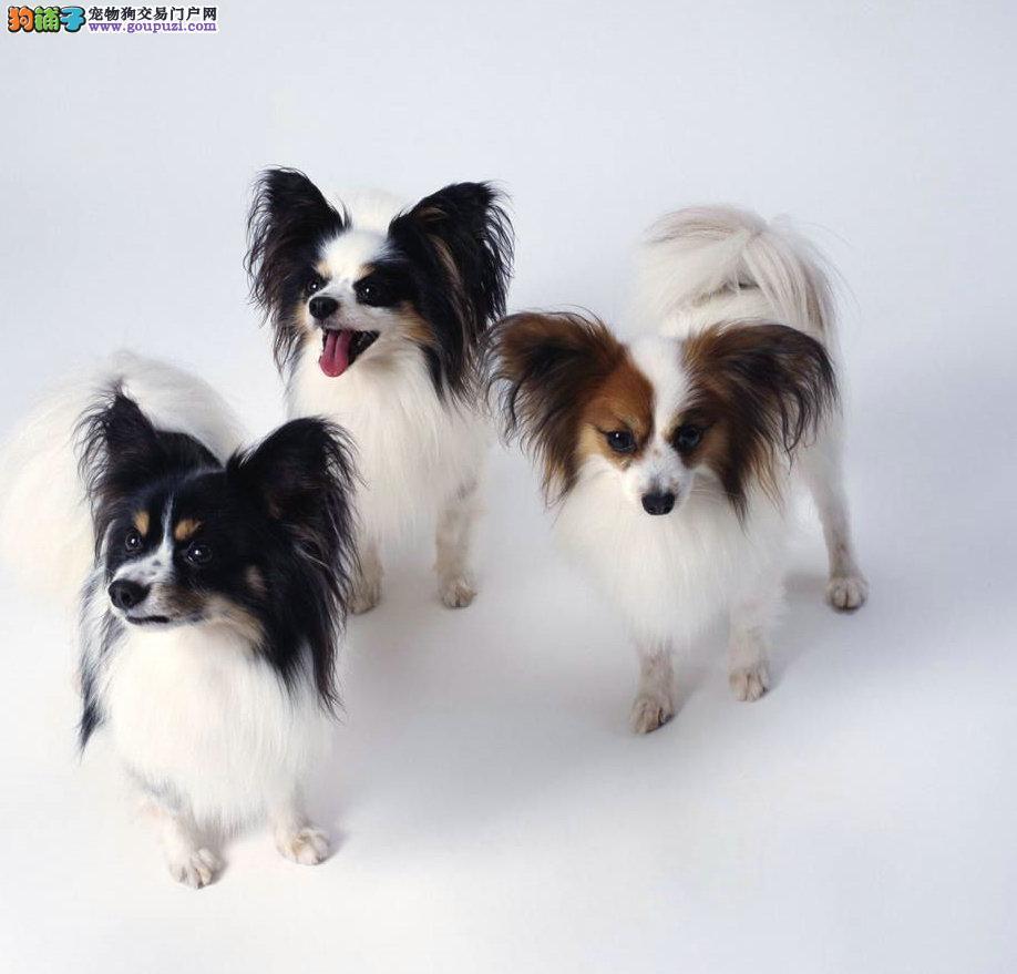 四川成都出售蝴蝶犬价格优惠
